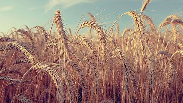 小麦 大麦 ライ麦 違い